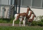 Antelope-3-copy