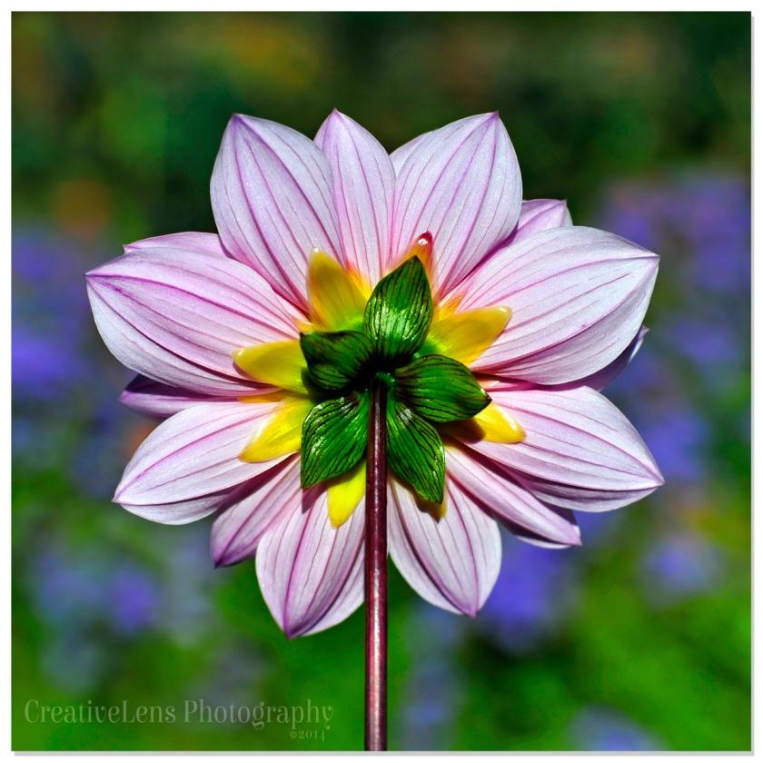 Natures-pinwheel