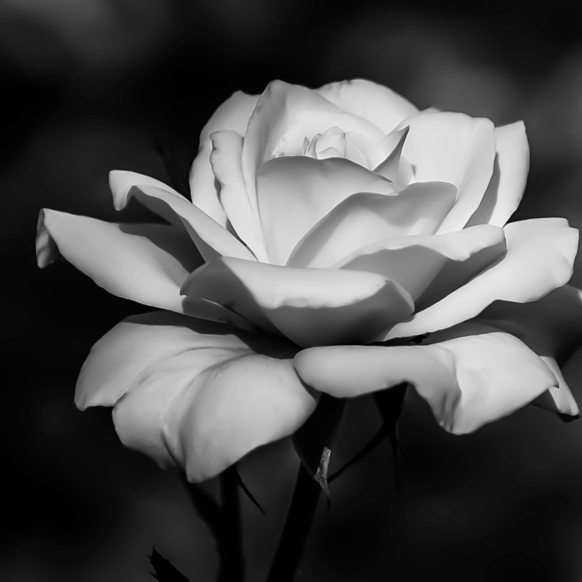 white-rose-b&w