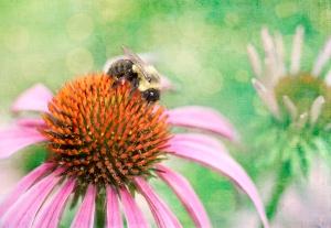 cornflower n bee