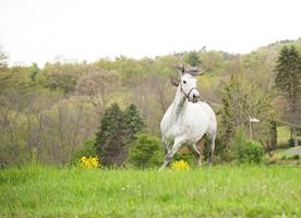 gray-horse