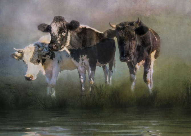 the-other-side---cows