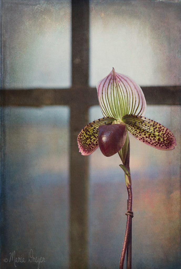 papal-orchid