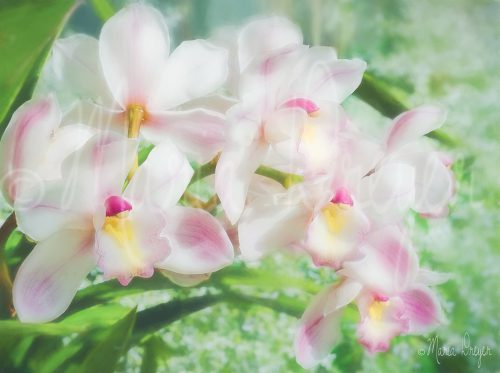 Love Spills Over Orchid