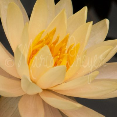 Yellow-Water-Lily